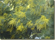 mimosa buds_1_1