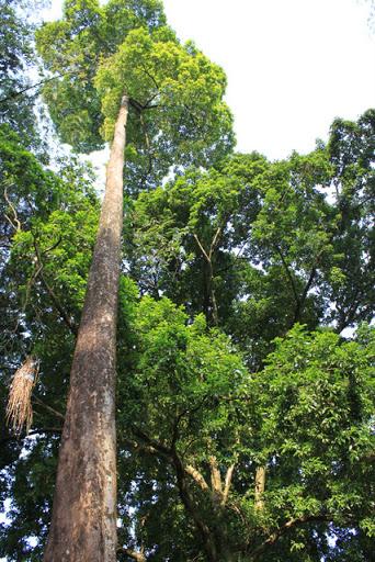 tree at Bogor botanical garden