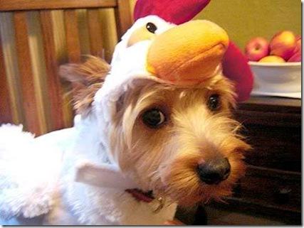 dog_chicken3
