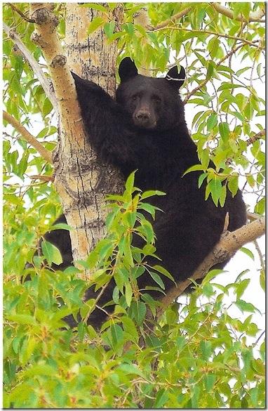 bear%20up%20a%20tree%20ready