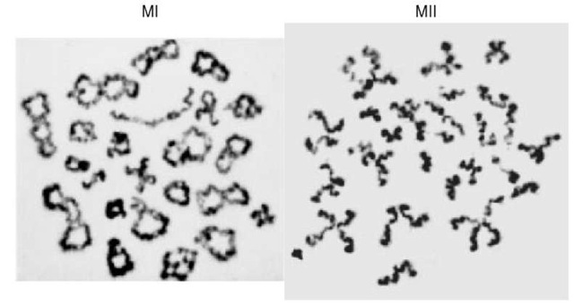 The morphology of MI and MII chromosomes is very different