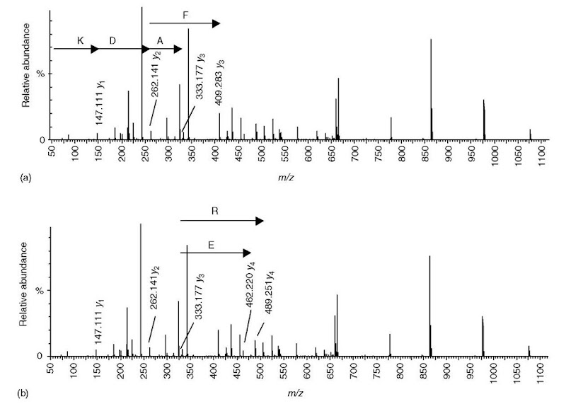 Sequencing a peptide of molecular weight 1317.67 from a Qtof MS/MS spectrum of a doubly charged precursor at m/z 659.8. (a) The _vi ion representing a C-terminal lysine is present at m/z 147.111. There are two ions at m/z 262.141 and 333.177 that differ in mass from the _vi ion by an amino acid residue mass (aspartic acid and tryptophan, respectively). Since the residue mass of tryptophan is approximately the same as the combined mass of aspartic acid and alanine, an additional ion is accounted for by assuming that the C-terminal sequence is ADK (_V2 = m/z 262 and y3 = m/z 333.177) rather than WK (V2 = 333.177). The mass accuracy of the Qtof instrument excludes an alternative y3 ion at m/z 409.283. (b) There are two potential 74 ions; however, for m/z 489.251. there are no other ions at higher m/z that differ by an amino acid residue mass (i.e.. it is a dead end), (c) The putative 74 ion at m/z 462.220 is the low-mass end of a series of ions that unambiguously define a partial sequence containing six amino acids, (d) Most of the remaining ions not hypothesized to be v-type ions (as described in panels a-c) are identified as a- or f>-type ions, plus some neutral losses