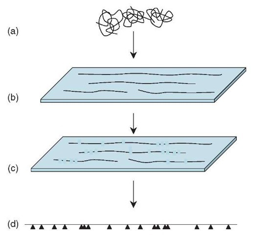 Optical mapping. Large fragments of genomic DNA (a) are spread and aligned on a glass surface (b) and stained for visualization. A restriction enzyme cuts the molecules at its recognition sites, and the cuts can be seen using a fluorescence microscope (c). Computerized measurement and analysis of many such images covering overlapping parts of the genome allows the precise pattern (d) of restriction sites (indicated by arrowheads) in the genome to be determined