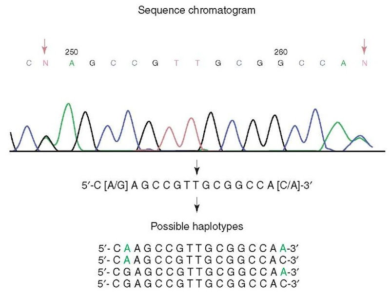 Complexity of haplotype determination in diploid organisms. A segment of continuous sequence from a human subject has two SNP sites, position 249 G/A and position 264 A/C. There are four possible combinations of two SNPs representing four possible haplotypes. All four haplotypes or only a subset may be represented in the human population. Further analysis is needed to determine the true haplotypes of this subject