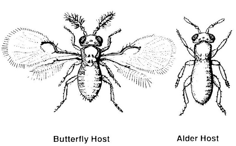 Two very different morphological outcomes of development in the minute parasitic wasp. The outcomes depend on the host (butterfly or alder fly) in which the eggs were laid. The insects are of the same species of parasitic wasp (Trichogramma semblidis).