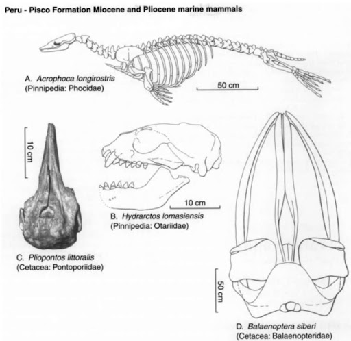 the hidden necks of seals biological marginalia rh biologicalmarginalia wordpress com