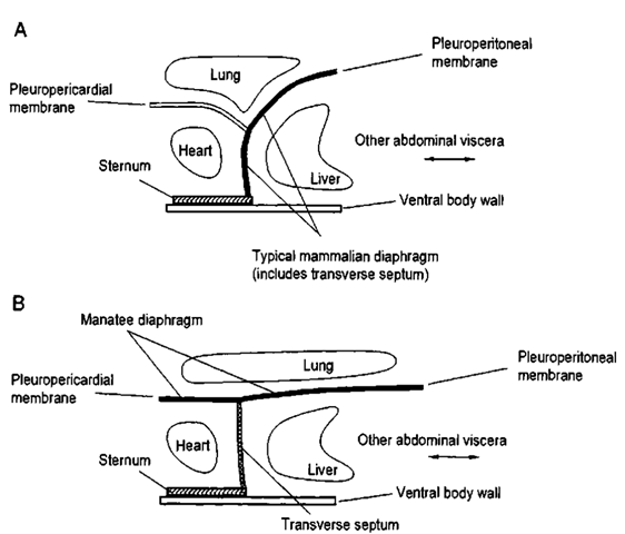 Schematic arrangements of mammalian diaphragms. Modified after Rommel and Reynolds (2000). (A) The typical mammalian diaphragm extends ventrally from the dorsal midline to attach to the sternum. The typical diaphragm is a separator between the heart and lungs in the front and the liver and other abdominal organs in the back. (B) The manatee diaphragm extends dorsally to the heart and does not touch the sternum. There is a mechanical barrier between the heart and the liver and other abdominal organs, but it is a relative/ weak barrier called the transverse septum.