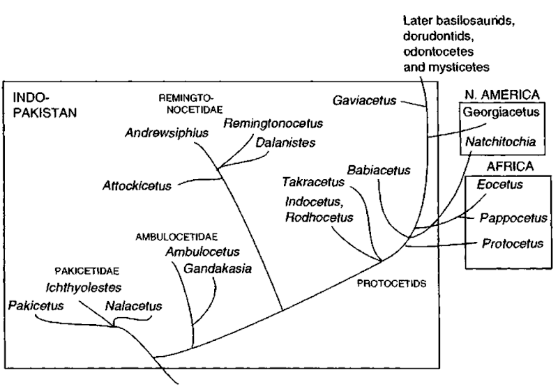 Phytogeny of early and middle Eocene cetaceans, indicating on which continent each of the families occurred, Protocetids is considered a paraphyletic group, and Gaviacetus is not considered a protocetid.