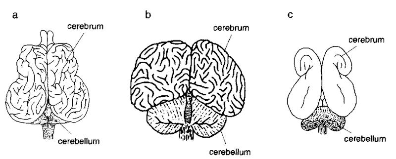 Comparison of pinniped, Otaria flavescens (a); cetacean, Tursiops tmncatus (b); and sirenian, Dugong dugon (c) brain, dorsal views.