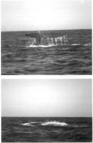 Lobtailing sperm whale: (top) the stock is bent and (bottom) the flukes are slapped forcefully against the water surface.