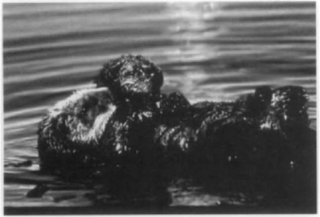 A female sea otter with her pup.
