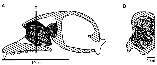 "(A) Sagittal section of a weanling elephant seal skull showing the nasal turbinates. (B) Cross section through one-half of the skull at line ""X"" in A. From Huntley et al. (1984)."