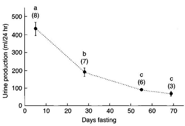 The decline in daily urine production of elephant seal pups progressing through the postweaning fast. Letters denote significant differences between periods (P < 0.05). Samples sizes are in parentheses. From Adams and Costa, J. Comp. Physiol. B 165, Water conservation and protein catabolism in northern elephant seal pups during the post weaning fast.