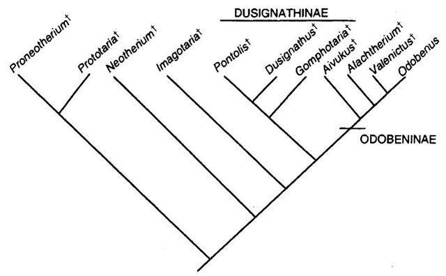 Phtlogeny of Odobenidae