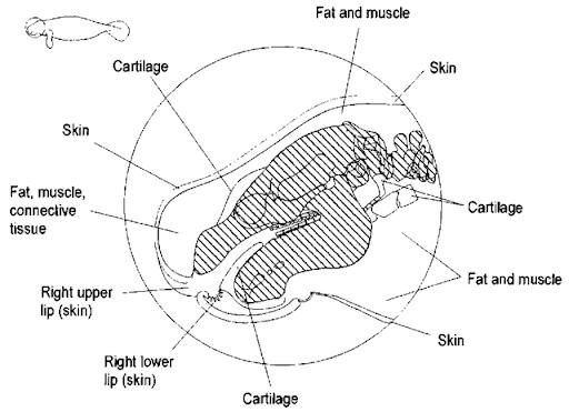 polar bear anatomy diagram