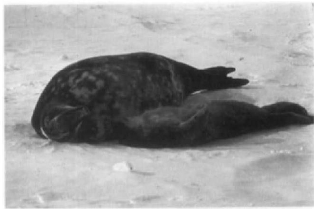 A mother Weddell seal calls to her pup to maintain spacing within a breeding column.
