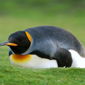 King Penguin by Janet Rose - Novices Only Wildlife ( , sea creatures, underwater life, ocean life )