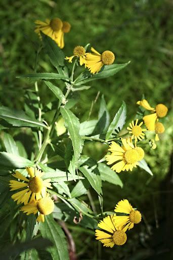 Swampsunflower.pkPFgr8PeaYd.jpg