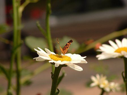 http://lh5.ggpht.com/_NRGqNsFKXHQ/TAo_n_w36_I/AAAAAAAAAl4/zISej7gdS0g/s512/butterfly%20001.jpg