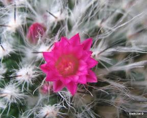Маммилярия цветок