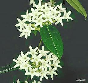 Стефанотис грандифлора (S. grandiflora)