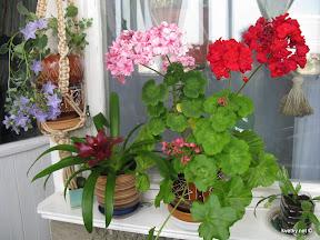 цветы на лоджии