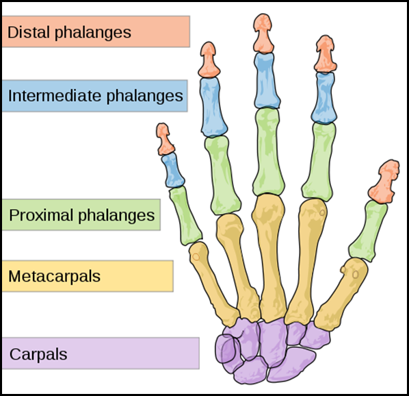 500px-Scheme_human_hand_bones-en_svg