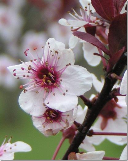 Purple Plum Blossom