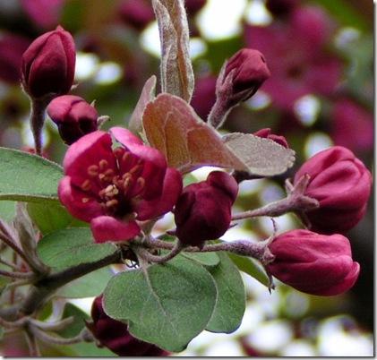 Crabb Apple Blossom