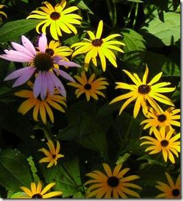 Black Eyed Susan and Pink Cone Flower