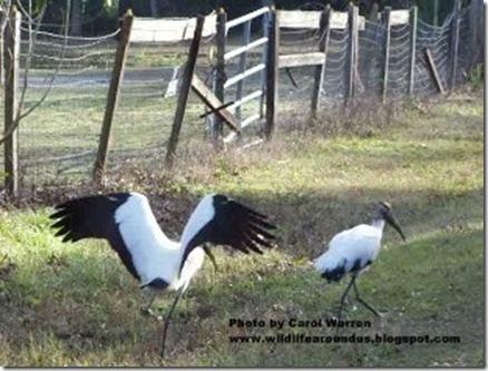 Wood Storkcs