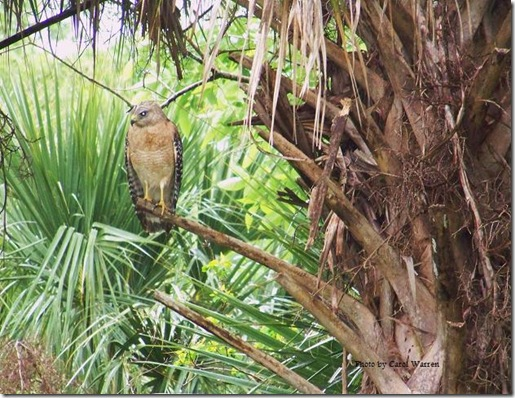 Immature Red Shoulder Hawk, Pale FL form