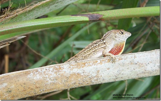 Cuban Brown Anole 025cs