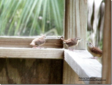 baby wrens fledging 049cs