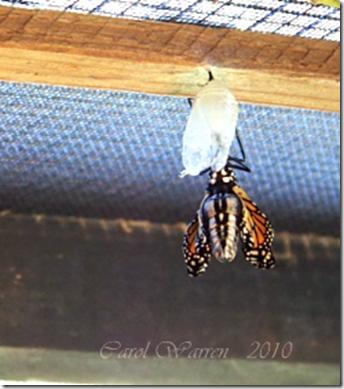 Butterfly emergingcs