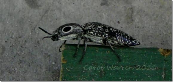 eyed click beetlecs