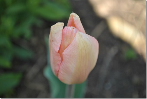 Spring Flowers 014
