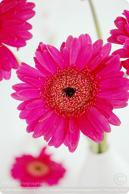 Pink Gerbera (03) by MeetaK