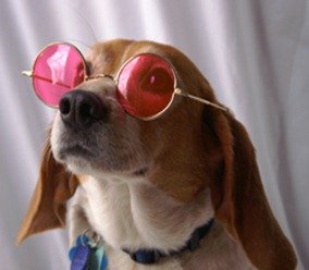 rose_colored_glasses_beagle
