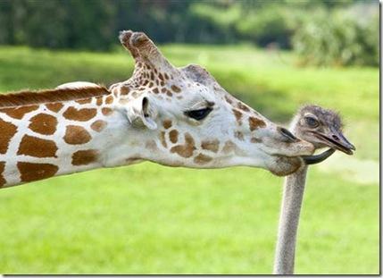 girafa_avestruz02