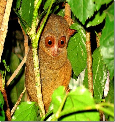 tarsius_thumb3 - Bohol wildlife 'saw' the quake coming - Science and Research