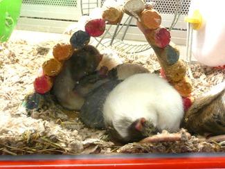 Melbicks-крысы