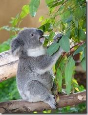 koala 640 x 480