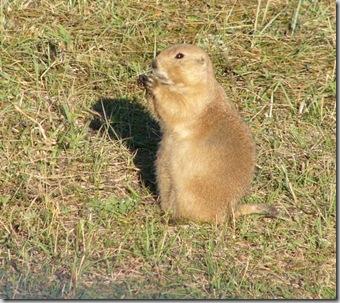 csp prairie dog