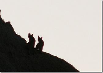 bd bobcats sil