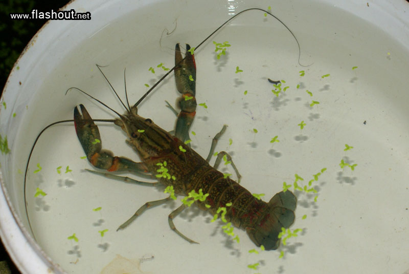 how to grow crawfish at home
