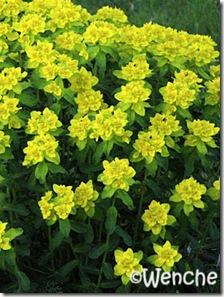 EuphorbiaPolychroma3