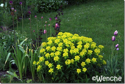 EuphorbiaPolychroma2