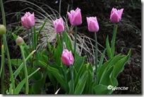 Tulipa Fringed