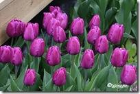 Tulipa Prince Charles